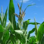 Manejo do nitrogênio no milho safrinha