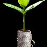 Recipientes de papel biodegradável na produção de mudas florestais
