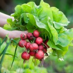 Adubação orgânica na produção de hortaliças