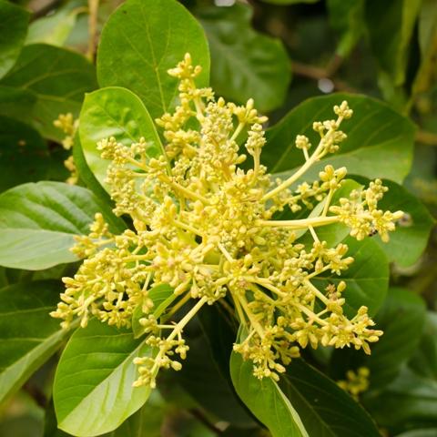 A multiplicação das plantas ocorre principalmente por meio da enxertia por garfagem - Fotos Shutterstock