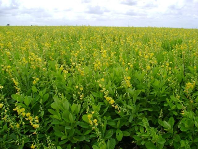 Crotalaria é exemplo de uma planta de cobertura que auxilia no manejo do percevejo castanho - Crédito Sementes Piraí