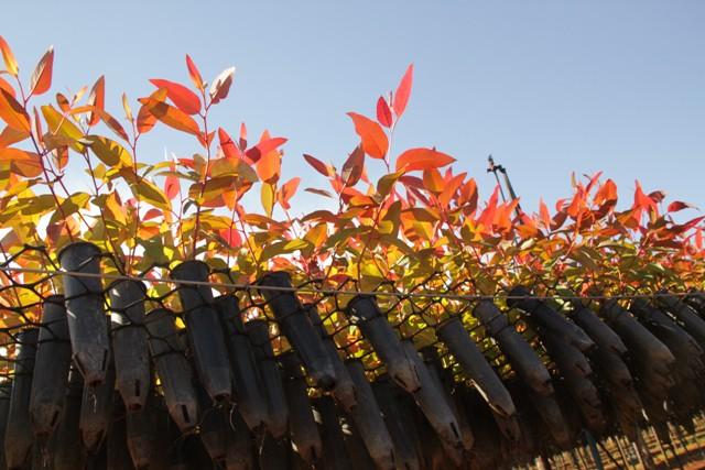 Estudos vêm demonstrando melhor desenvolvimento de mudas de eucalipto com a aplicação de silício - Crédito Maritza Borges