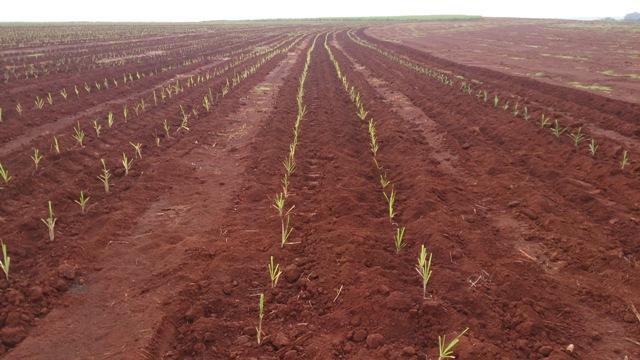Os ácidos húmicos favorecem a germinação das mudas de cana