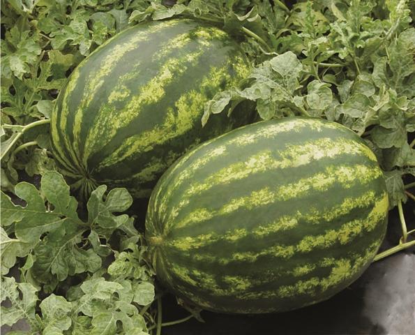 Um eficiente controle fitossanitário garante maior qualidade do fruto - Crédito Agristar