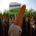 Morgan apresenta portfólio líder na safrinha de milho no Dia de Campo Copagril