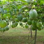 Tecnologias agregam à produção de maracujá no Brasil