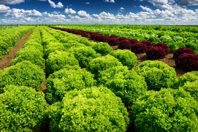 A maior parte da alfacicultura no Brasil é desenvolvida no sistema de cultivo em campo - Créditos Shutterstock