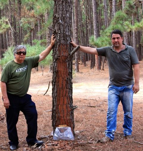 Laércio Coutoe ThannarBubna, diretores da Tecflora ao lado de pinus com resinagem - Crédito Arquivo pessoal