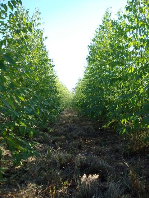 A tecnologia dos fertilizantes de liberação lenta é uma tendência, principalmente no eucalipto - Crédito Nutrion