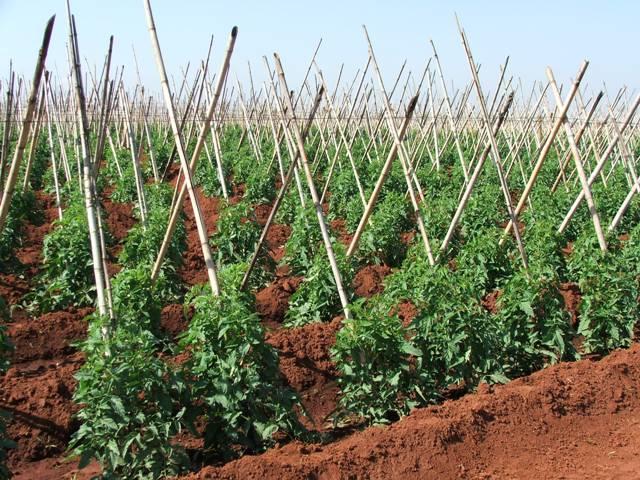 Os pulgões podem atacar o tomateiro durante todo o seu ciclo - Crédito Ana Maria Diniz