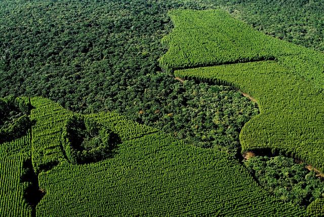 Floresta de eucalipto plantada pela Fibria - Crédito Fibria