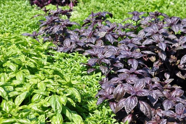 O manjericão é um condimento para temperar e aromatizar os alimentos - Crédito Isla Sementes