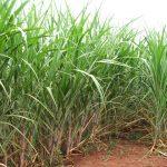 Brasil começa a plantar cana transgênica