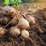Manejo de requeima e míldio nos cultivos do Brasil