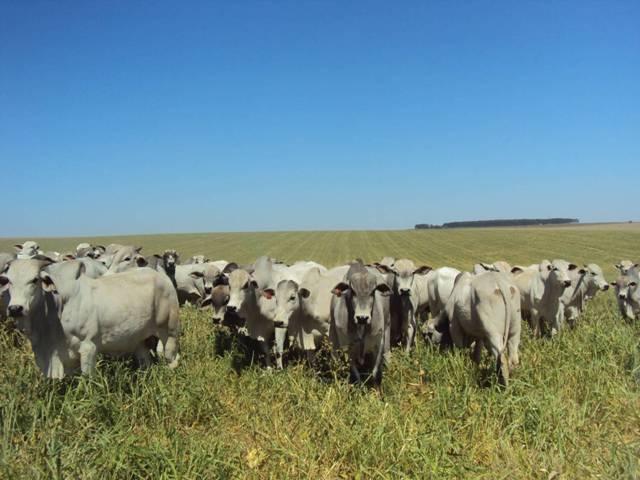 Pecuária pós milho - Crédito Edemar Moro