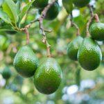 Benefícios dos aminoácidos para o abacateiro