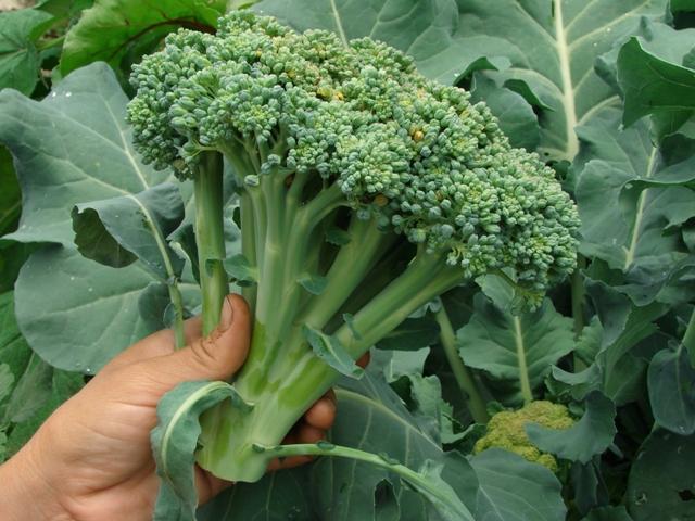 O brócolis é uma cultura que responde muito a aplicação de boro - Crédito Shutterstock