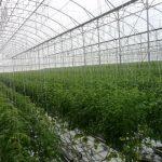 Manejo de tomate em ambiente protegido na região sul