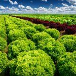 Uso de bioestimulantes a base de aminoácidos na alface