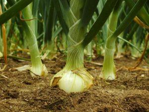 Espaçamentos maiores entre plantas e linhas tendem a produzir bulbos maiores - Crédito Alltech
