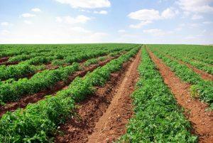 Goiás é o principal produtor de tomate-indústria do País, com 12,3 mil hectares de área plantada