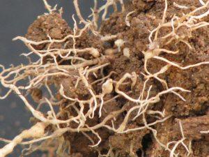 Nematoides tomando as raízes da planta - CréditoInobert de Melo