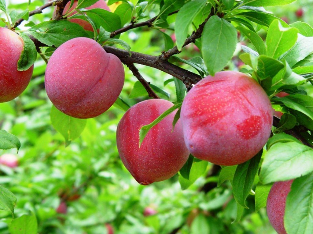 A aplicação de aminoácidos torna as plantas mais tolerantes - Crédito Marco Lucini