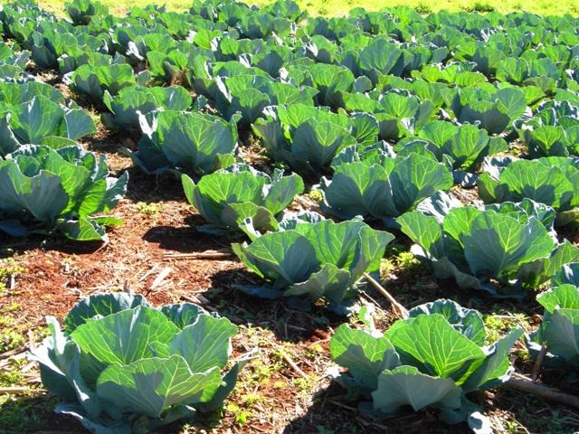 o plantio direto proporciona acúmulo de matéria orgânica no solo - Crédito Nuno Madeira