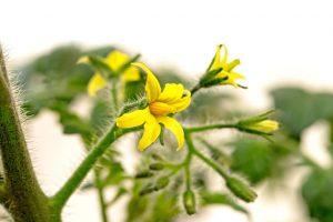 A absorção de nutrientes pelo tomateiro é baixa até o aparecimento das primeiras flores - Crédito Shutterstock